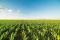 Soybean and Corn Lose Steam And Ease Rallies