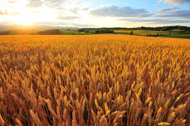 Wheat Jumps as IGC Cuts Crops Forecast for 2019-20