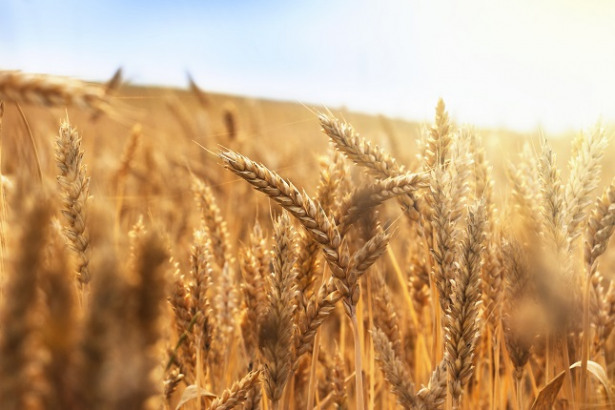Grains Head Down Amid Improved Weather Conditions