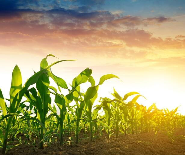 Corn, Soybeans Down After China Tariffs, Wheat Positive, All Eyes on Trump