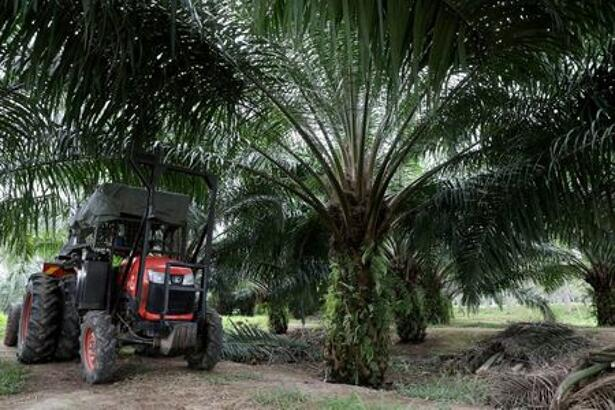 A mini tractor grabber collects palm oil fruits