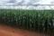 Lavoura de milho com irrigação