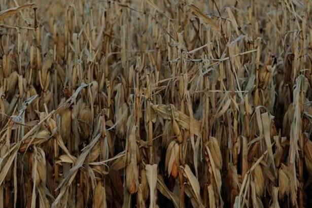 Lavoura de milho afetada por geada