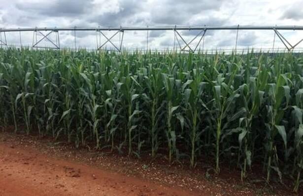 Safra de milho na fazenda Cercado Grande, no estado de