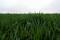 Imagen de archivo de trigo de invierno creciendo en la Granja Familia Ward en Pawnee, Oklahoma, Estados Unidos. 22 de marzo, 2020. REUTERS/Nick Oxford/Archivo