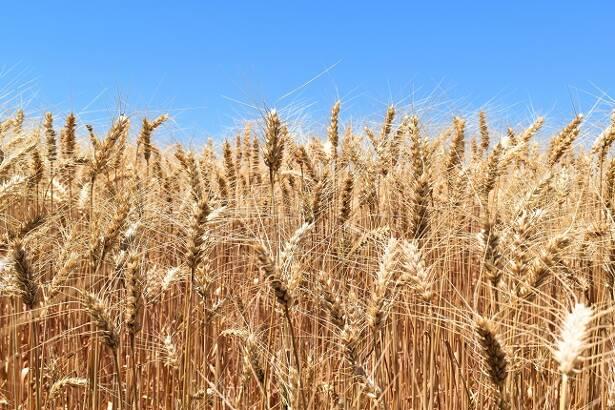 Soia e grano
